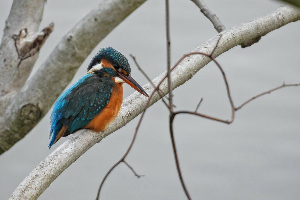 Kingfisher 6215073 1920